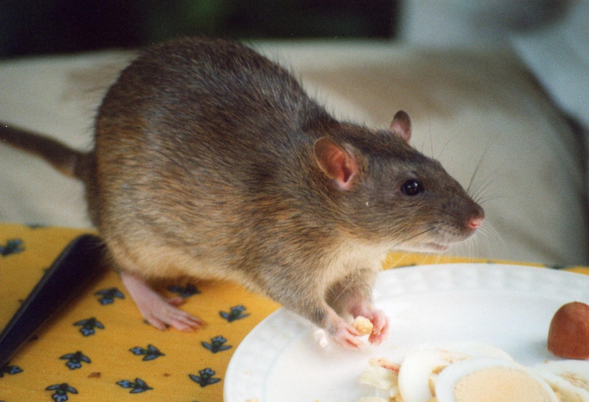 Dealing with Rats Under your Home: Understanding your Options
